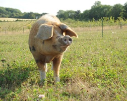Drovers Hill Farm rare breed pigs