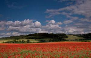 A field of poppies near Watlington
